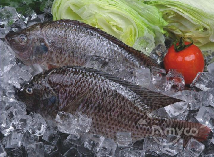 Frozen Tilapia Fish GS