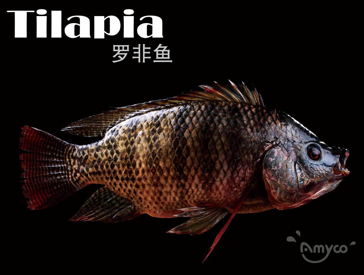 Tilapia fish High quality