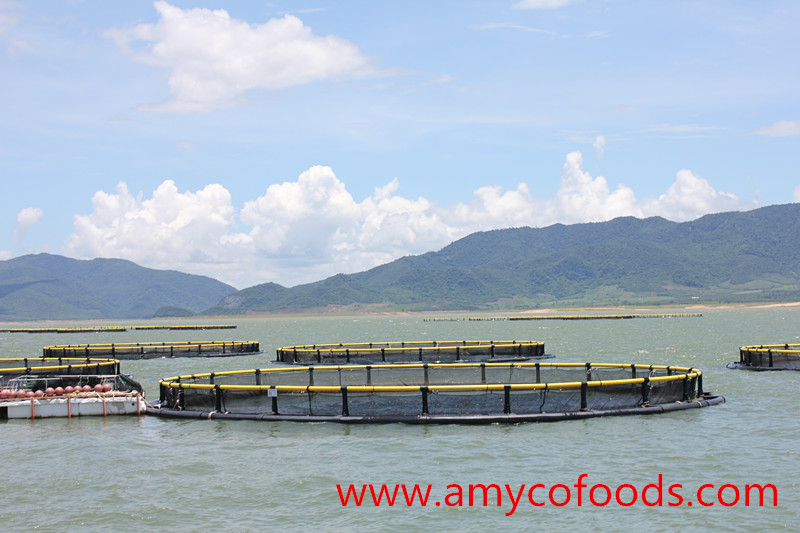 Tilapia cage farmed