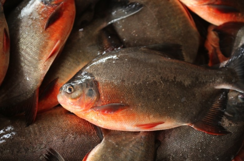 Red Pomfret raw material