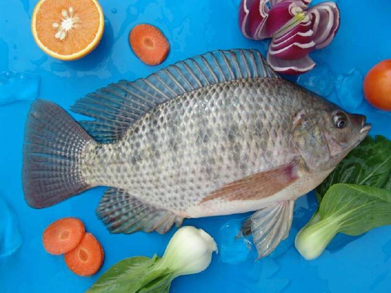 Tilapia Fish Whole