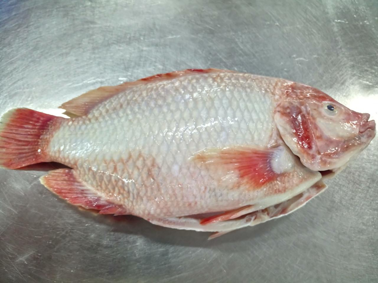 Red Tilapia gutted and scaled