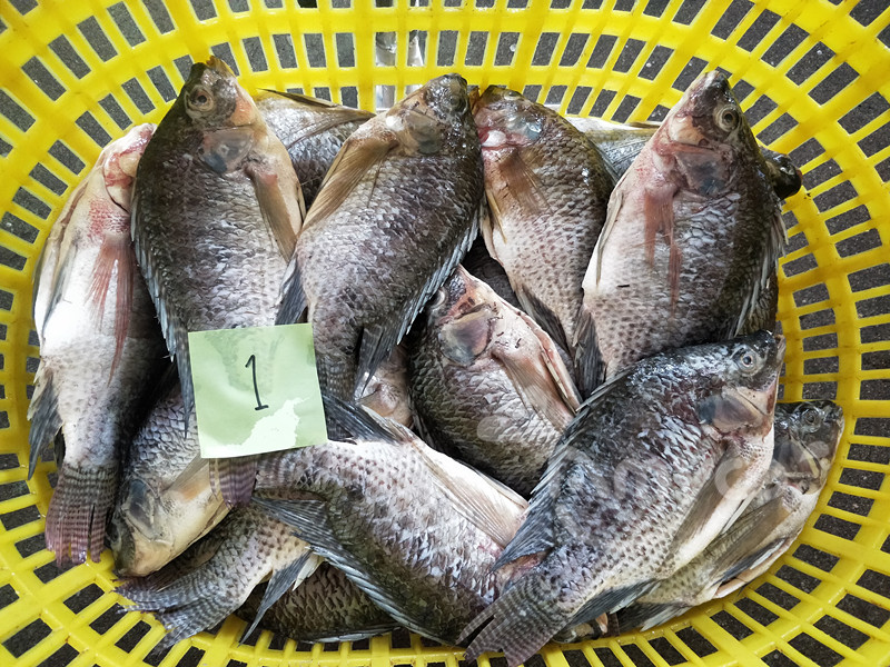 Black Tilapia Fish