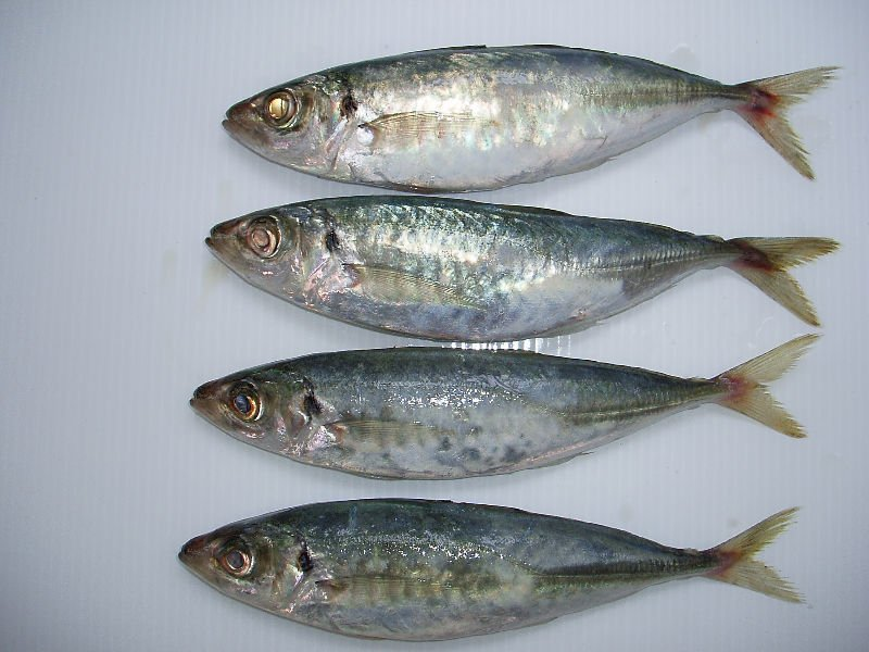 Horse Mackerel Whole Round