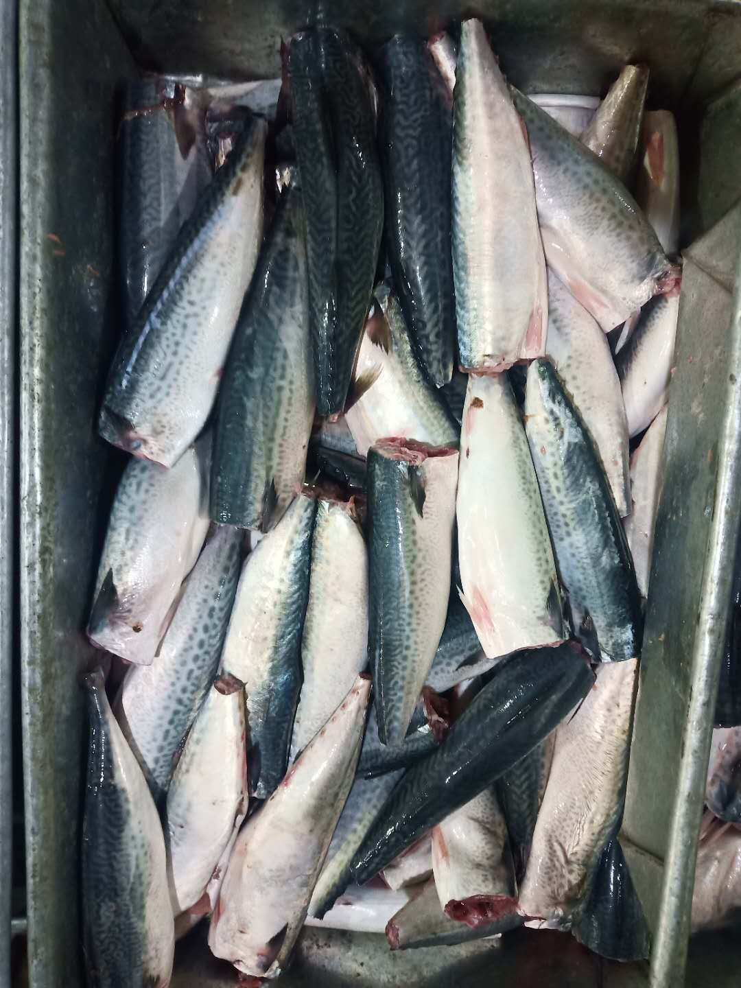 Frozen Pacific Mackerel HGT 150g+